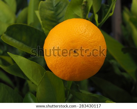 Orange on a branch in a garden in Melbourne, Australia