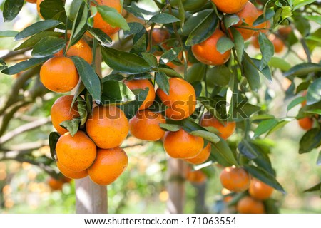 Orange on Orange tree - stock photo