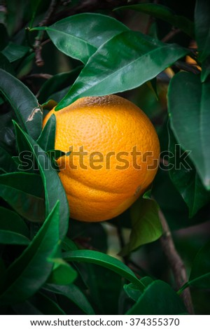 Orange on orange tree with leaves, vertical, front view