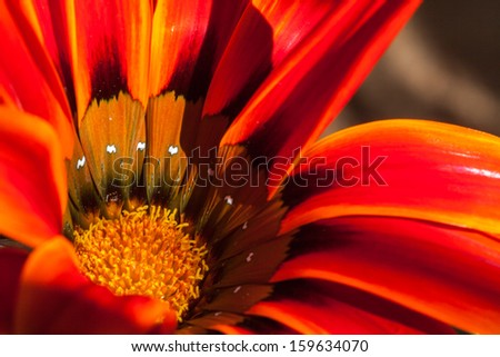 Orange or Red Daisy Flower Landscape - stock photo