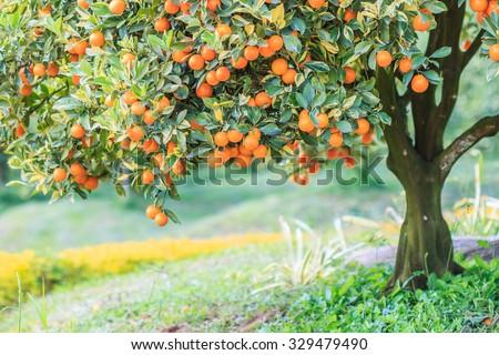 Orange - Orange tree Orange Park  - stock photo