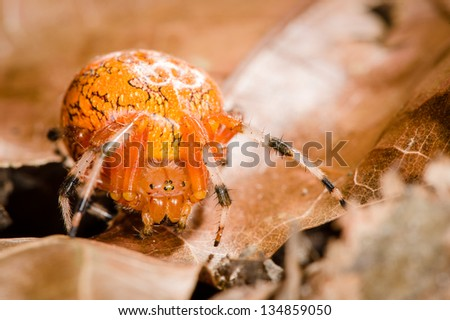 Orange Orb-Weaver Spider - stock photo