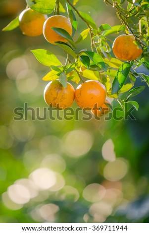 Orange orchard in northern Thailand - stock photo