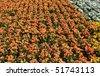 orange pansies composition - stock photo
