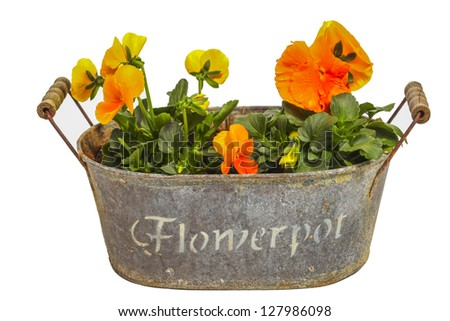 Orange pansies in a flowerpot - stock photo