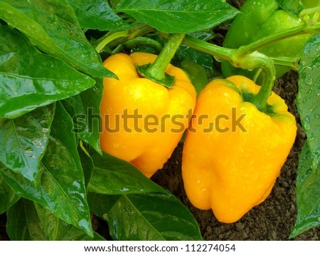 orange peppers ripening among the leaves - stock photo