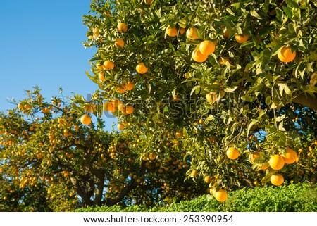 Orange plantation with trees ready to be harvested - stock photo