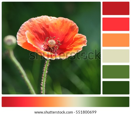 Orange poppy flower palette complimentary color stock photo royalty orange poppy flower palette with complimentary color swatches mightylinksfo Image collections