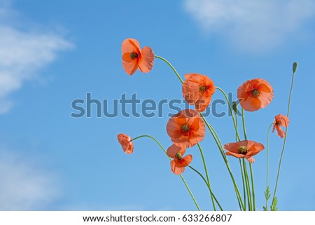 Orange poppy flowers on blue sky background