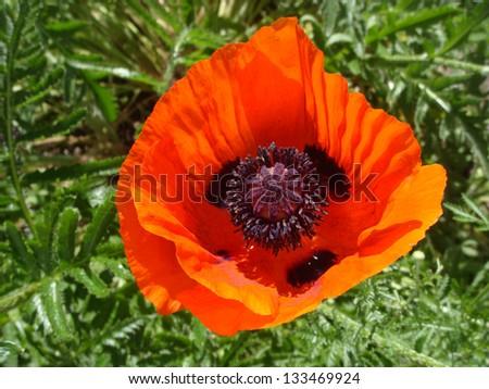 Orange poppy with purple pistils - stock photo