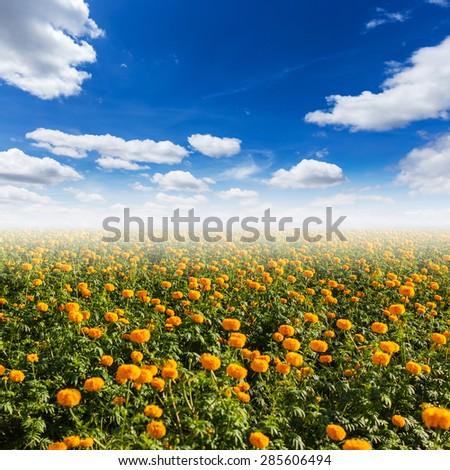 Orange pot marigold (Calendula officinalis) field with blue sky - stock photo