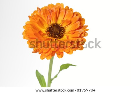 Orange pot marigold (Calendula officinalis) flower, isolated on white