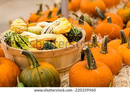 Orange pumpkins on the pumpkin patch. - stock photo