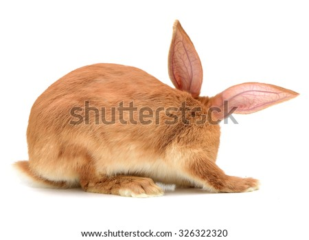 orange rabbit on white background