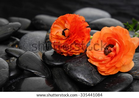 Orange ranunculus on zen black stones - stock photo