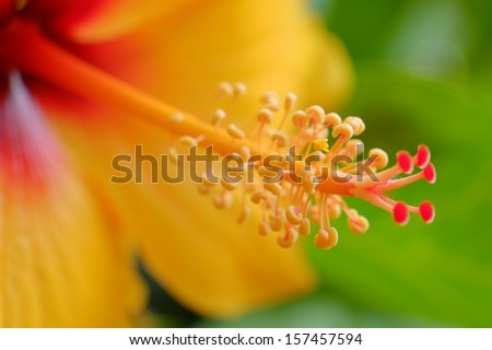 Orange red and yellow stamen of a late summer hibiscus tropical plant in bloom - stock photo