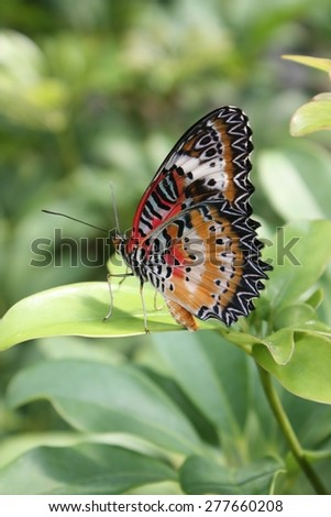 Orange, red, black and white butterfly