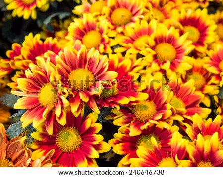 Orange red Chrysanthemum in group