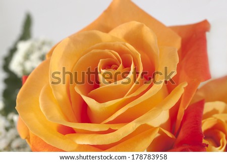 Orange rose - stock photo
