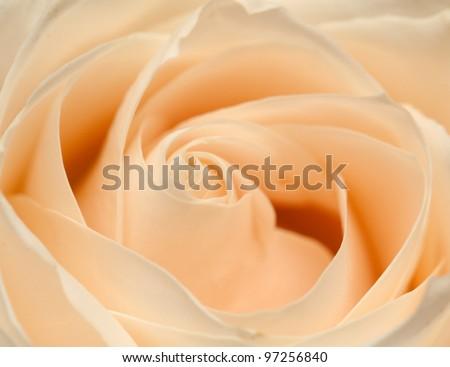 Orange rose closeup - stock photo