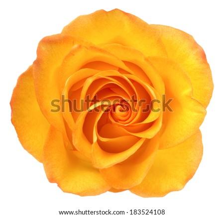 Orange rose. Deep focus. No dust. No pollen. Isolated on white background.  - stock photo