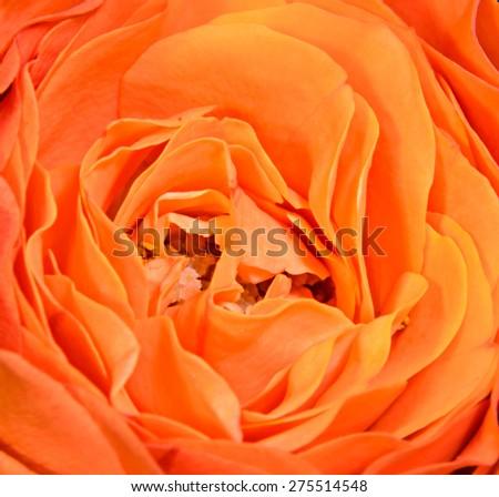 Orange rose flower, close up, texture petals. - stock photo