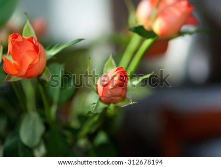 Orange rose on background dark room - stock photo