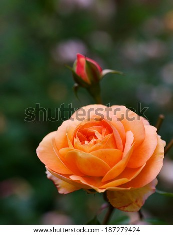 Orange rose with red bud and soft focus green plant background - stock photo