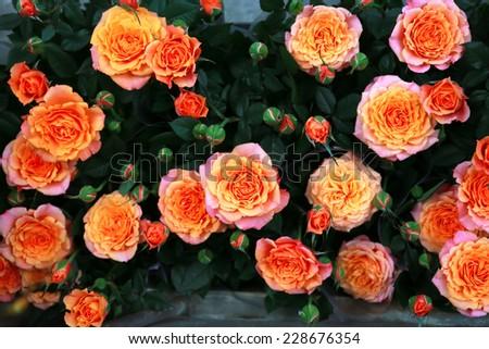 Orange roses background - stock photo