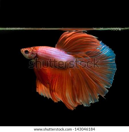 orange siamese fighting fish on black background - stock photo