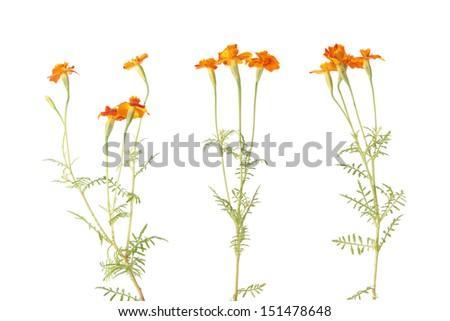 Orange signet marigold flowers isolated on white - stock photo