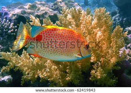 Orange spotted spinefoot (Siganus guttatus), Koh Tao island, Thailand - stock photo