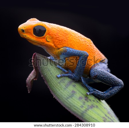 orange strawberry poison dart frog, Oophaga pumilio from the tropical rain forest of Panama. Beautiful exotic rainforest animal. Poisonous amphibian - stock photo