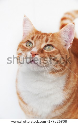 Orange striped cat portrait