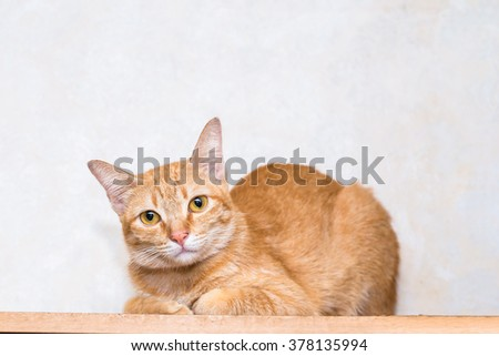 Orange striped cat sit and lie   on wood floor and white background, it looking  to the front eye contact - stock photo