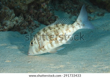 Orange-striped emperor fish (Lethrinus obsoletus) in the indian ocean