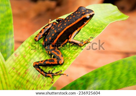 orange striped poison dar frog Ameerega trivittatus a tropical and exotic amphibian from the Amazon rainforest of Peru Brazil Suriname, Guyana and Ecuador - stock photo