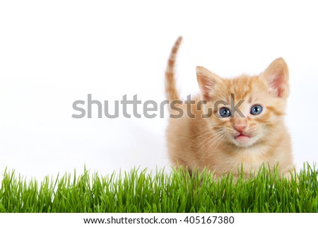 orange stripped fluffy fuzzy kitten looking over green grass with white background - stock photo