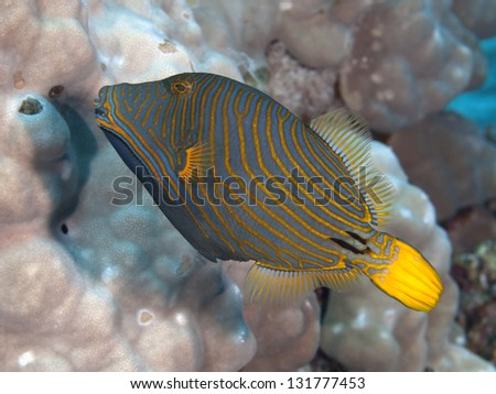 Orange-stripped triggerfish