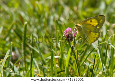 Orange Sulfur (Colias eurytheme) Butterfly taking nectar from a clover flower