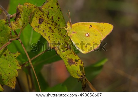 Orange Sulphur Butterfly perched on a leaf.