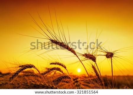 orange sunset over harvest field - stock photo