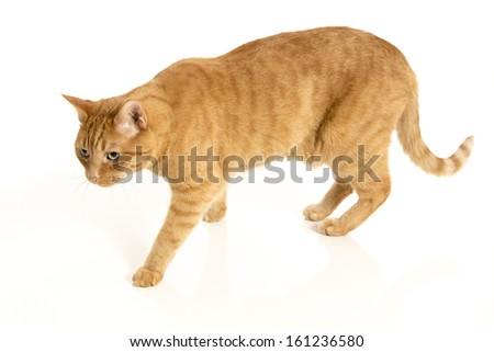 Orange tabby cat isolated on white background with reflection - stock photo