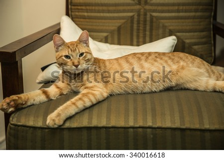 Orange Tabby cat lounging on chair indoors, medium shot - stock photo