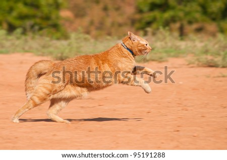 Orange tabby cat running across red sand in full speed - stock photo