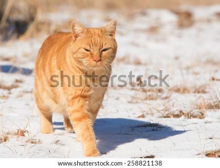 Orange tabby cat walking in snow in bright sunshine - stock photo