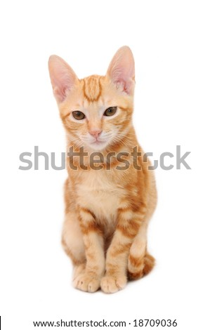 Orange tabby kitten in isolated white background