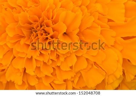 orange tagetes patula petals texture background - stock photo