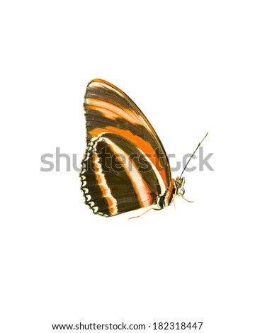 Orange Tiger butterfly isolated on a white background