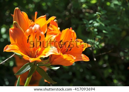 Orange tiger lily on a dark green background